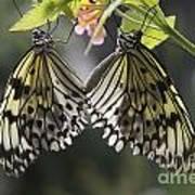 Butterfly Duo Art Print