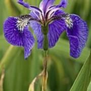 Butterfly Iris (iris Spuria) Art Print