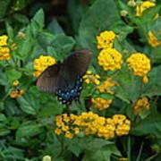 Butterfly Lantana Art Print
