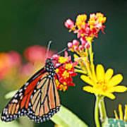 Butterfly Monarch On Lantana Flower Art Print