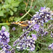 Butterfly On Lavendula Art Print