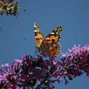 Butterfly On Lilac 2 Art Print