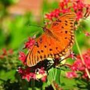 Butterfly On Pentas Art Print