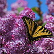 Butterfly On Pink Lilac Art Print