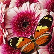 Butterfly On Pink Mum Art Print
