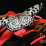 Butterfly On Red Art Print