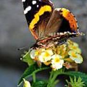 Butterfly Sipping Lantana Luscious Lemonade   Art Print