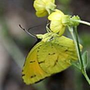 Butterfly - Yellow Sulphur On Yellow Art Print