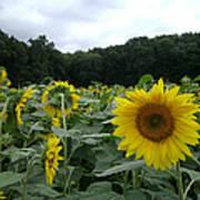 Buttonwoods Sunflowers Print by Jason Sawicki