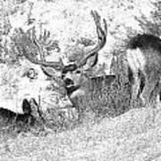 Bw Mule Deer Art Print