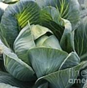 Cabbage In The Vegetable Garden Art Print