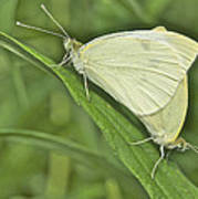 Cabbage White Butterflies 5267 Art Print