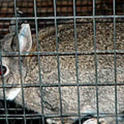 Caged Rabbit Art Print