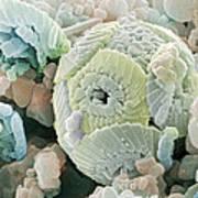 Calcareous Phytoplankton Fossil, Sem Art Print