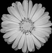 Calendula Flower - Black And White Art Print