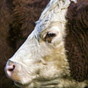 Calf Portrait Art Print