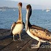 California Pelicans Art Print