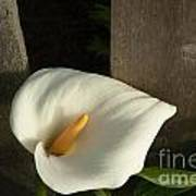 Calla Lily And Fence Art Print