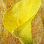 Calla Lily Beauty  Art Print