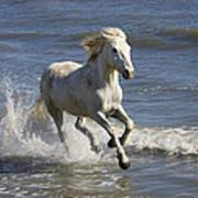 Camargue Horse Equus Caballus Running Art Print