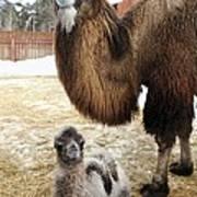 Camel And Colt Art Print by Ria Novosti