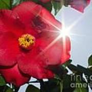 Camellia Flower Art Print by Mats Silvan