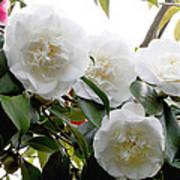 Camellia Flowers (camellia Japonica) Art Print
