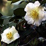 Camellia Nineteen Art Print