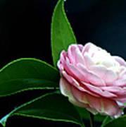 Camellia Twenty-four  Art Print