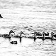 Canada Geese Family II Bw Art Print
