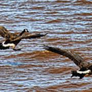 Canada Geese In Flight Lake Superior Art Print