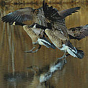 Canada Goose Trio Landing - C0843m Art Print by Paul Lyndon Phillips