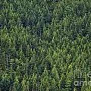 Canadian Boreal Forest. Art Print