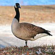 Canadian Goose 2 Art Print