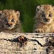 Canadian Lynx Kittens Looking Art Print