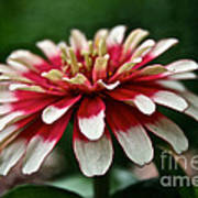 Candy Color Zinnia Art Print