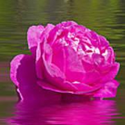 Candy Pink Rose  Art Print