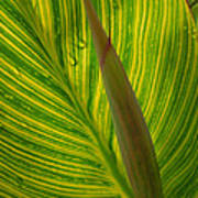 Canna Leaf Art Print by Peg Toliver
