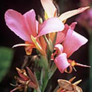 Canna Lily 'erebus' Print by Adrian Thomas