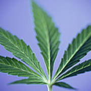 Cannabis Leaf Art Print