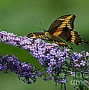 Captivating Swallowtail On Butterfly Bush Flower Art Print