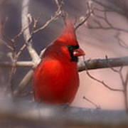 Cardinal - Unafraid Art Print