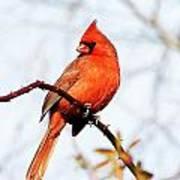 Cardinal 2 Art Print