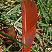 Cardinal Feather Art Print
