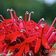 Cardinal Flower Close Up Art Print