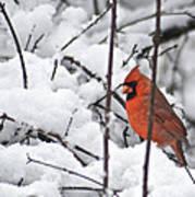 Cardinal Male 3669 Art Print