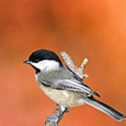 Carolina Chickadee - D007812 Art Print