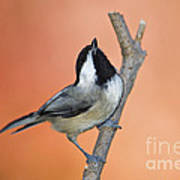 Carolina Chickadee - D007814 Art Print