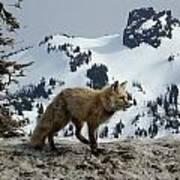 Cascade Red Fox 3 Art Print