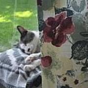Cat Nap Curtain Art Print